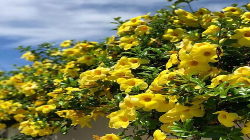 Khasiat Bunga Alamanda Wajib Kamu Ketahui