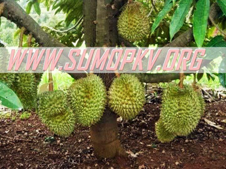 10 Manfaat Daun Durian untuk Kesehatan